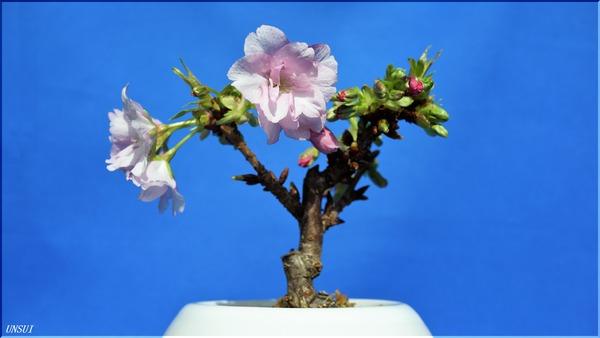 2018-02-19桜の盆栽-1