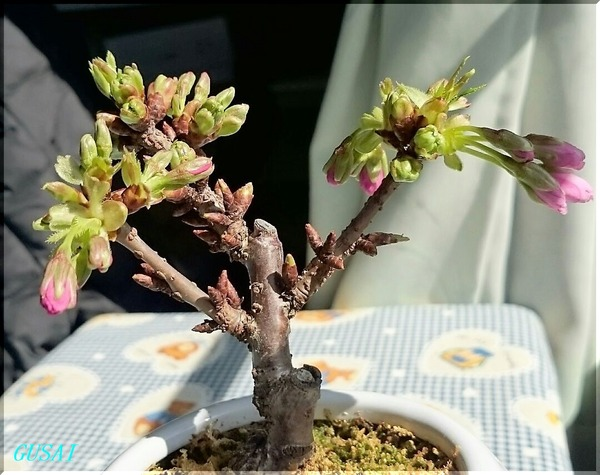 02-16桜の盆栽1