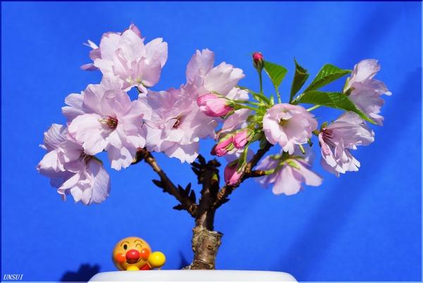 20180228桜の盆栽