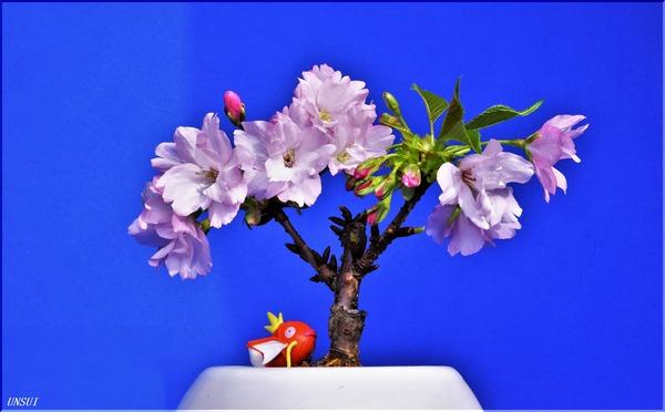 20180226桜の盆栽