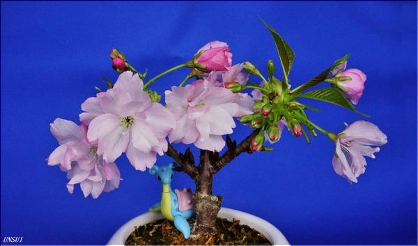 20180225桜の盆栽