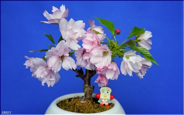 桜の盆栽20180301