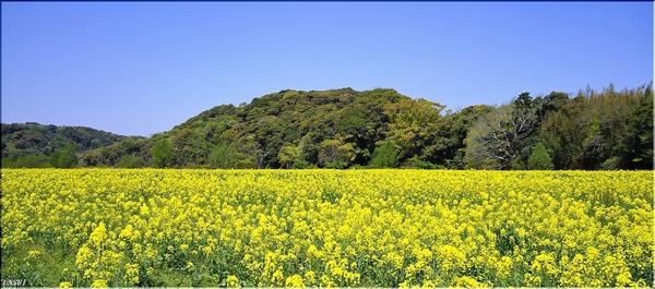 桶ヶ谷沼の菜の花畑