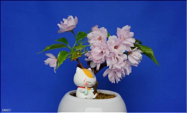 20180305桜の盆栽-1