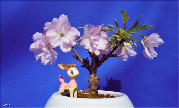 20180224桜の盆栽(枝折れ)