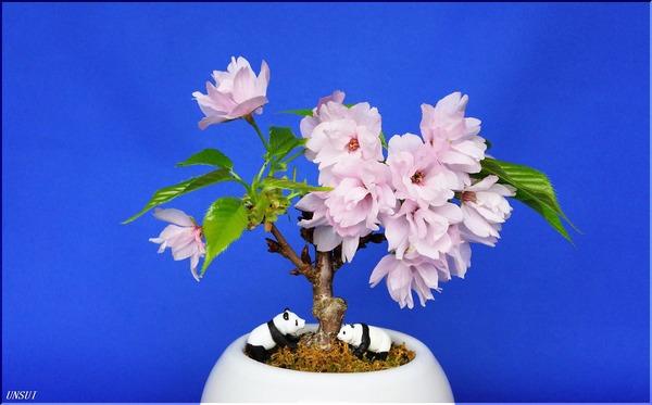 20180306桜の盆栽