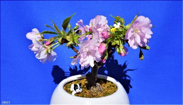 20180223桜の盆栽