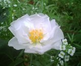 白松葉牡丹