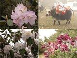ヒマラヤの春
