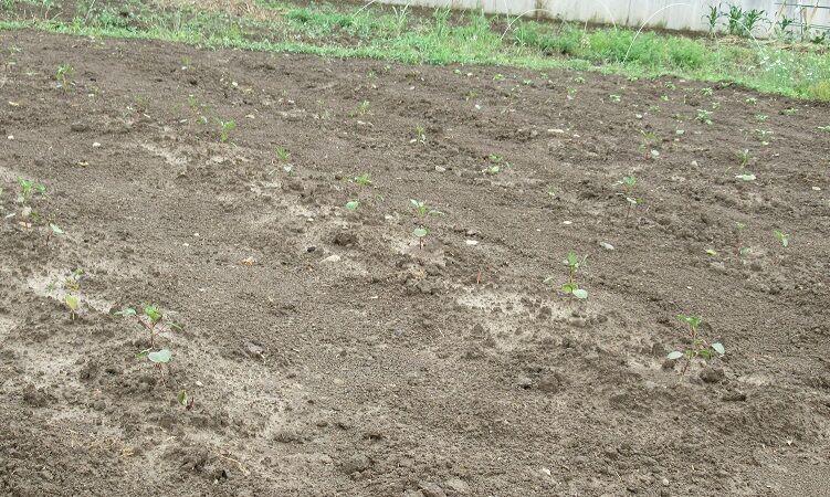 0612 ローゼル畑