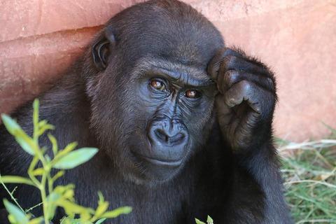 gorilla-1031235_960_720
