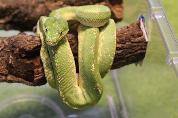 本日のグリーンパイソンです、全身が緑色に染まってきました