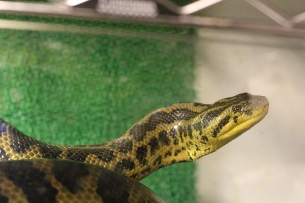 キイロアナコンダ、美しい横顔です
