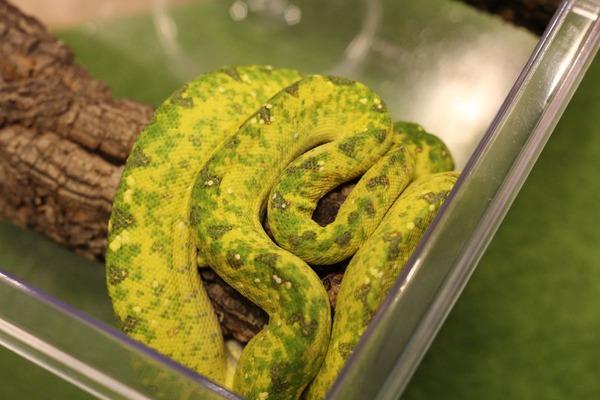 ビアク産グリーンパイソンのベビー、色のゴニャゴニャ感