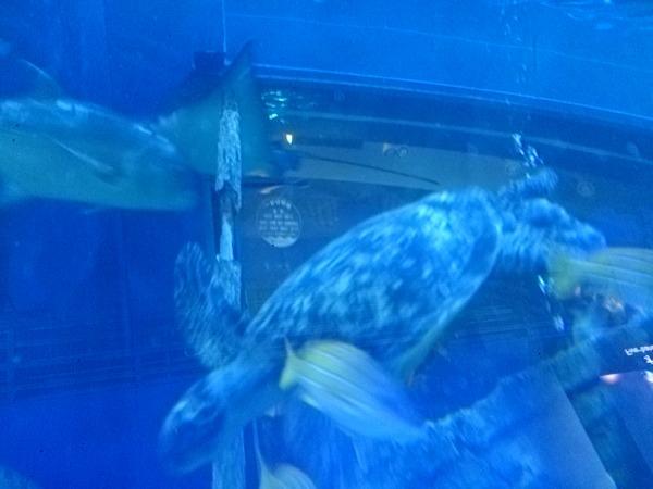 アオウミガメが近づいてくる