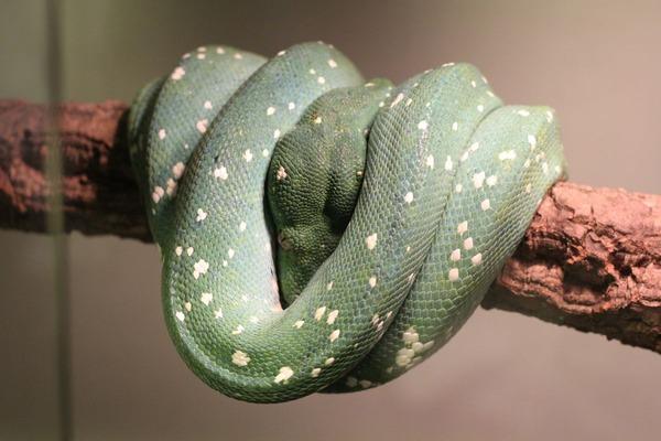 グリーンパイソンのブルーコンドロ、色彩の形成です