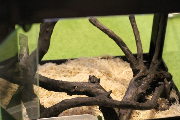 パシフィックツリーボア、地面から生える