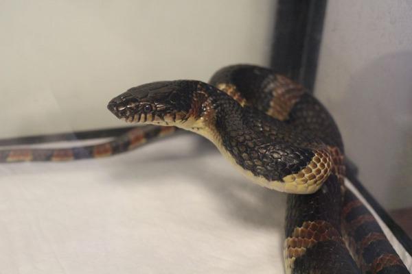 アカマタの屹立する咬蛇姿勢です