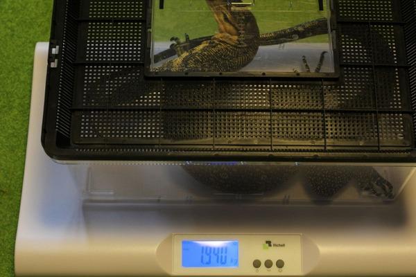 サルバトールモニターの体重、測定中です