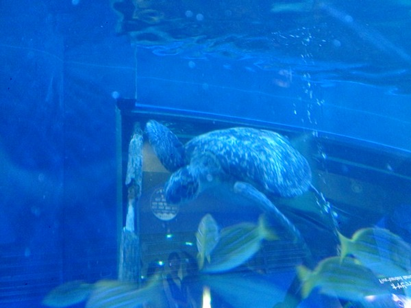 アオウミガメ、羽ばたき