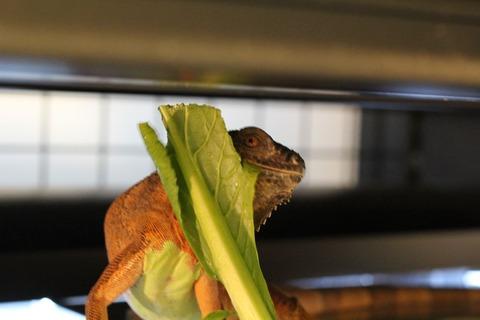 イグアナ、絶好調で食餌