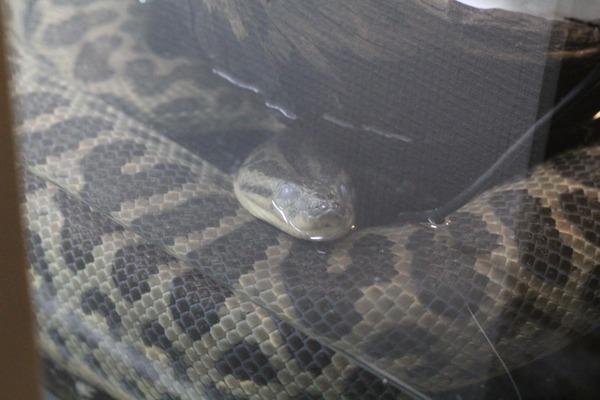 キイロアナコンダ、眼が怖い
