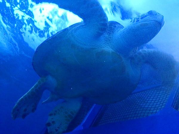 アオウミガメを下から見た