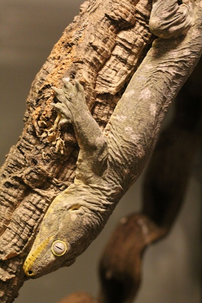 脱皮前のツギオミカドヤモリ