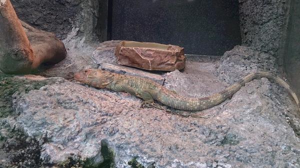 ガイアナカイマントカゲです