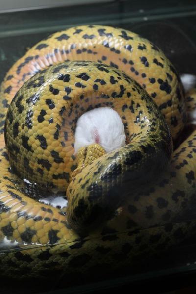 キイロアナコンダお食餌3