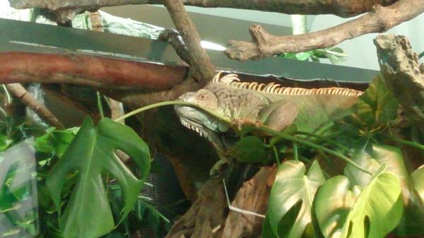 水族館内のグリーンイグアナです
