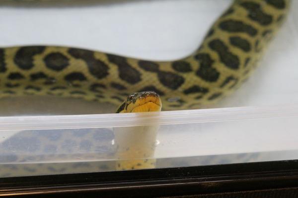 キイロアナコンダ、お食餌待ち