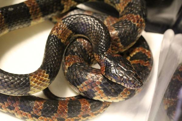 アカマタの咬蛇姿勢です