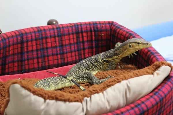 サルバトールモニター、お気に入りのベッドです