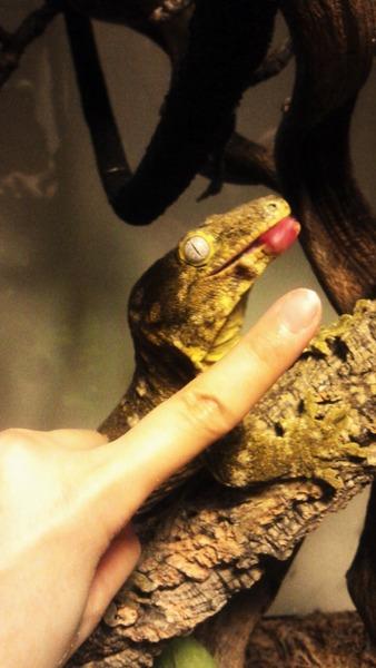 ツギオミカドヤモリ、手とのサイズ比較