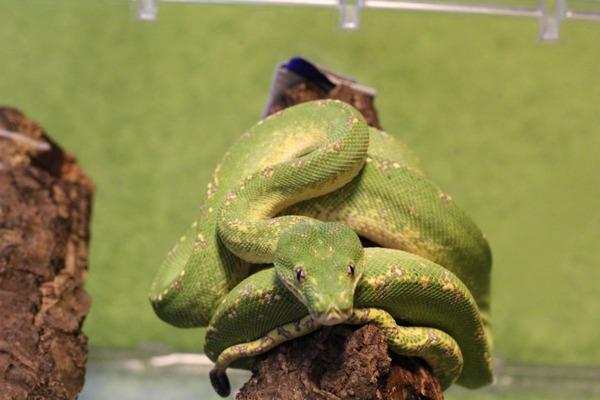 グリーンパイソン、咬蛇姿勢も様になります