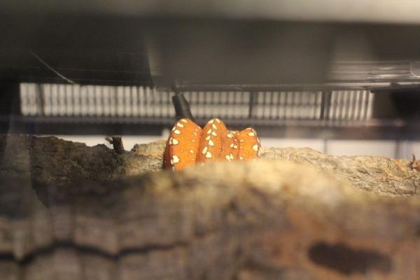 新参ビアク産ベビーのグリーンパイソンの表情はちょっと不明です