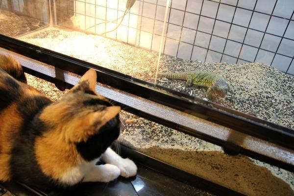 猫とトゲオアガマ