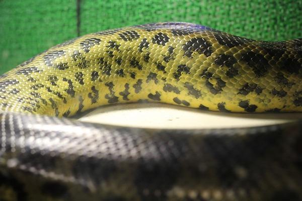 キイロアナコンダ、黄色が鮮やかです
