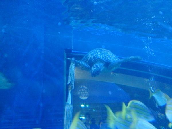アオウミガメ、遠くから