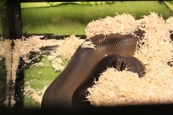 アルバーティスパイソンのキミカブラック、美しいです