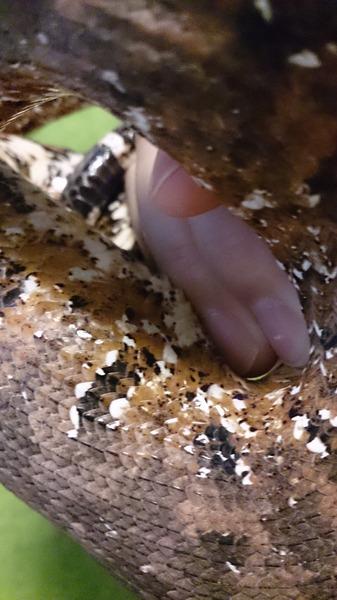 パシフィックグランドボアの鱗と模様です