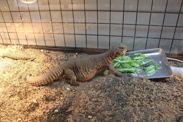 エジプトトゲオアガマ、オス一人で気楽に食餌