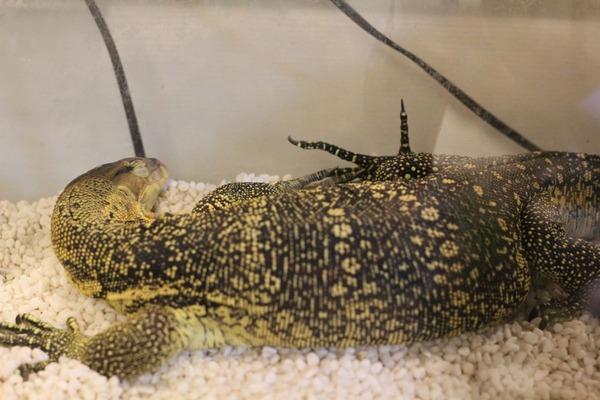 サルバトールモニター、世界一の寝顔です