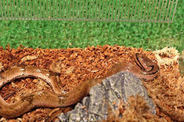 オビハスカイメス、絹の手触り