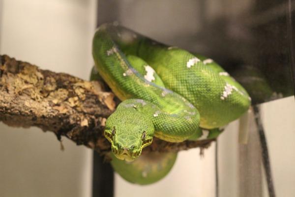 エメラルドツリーボア、咬蛇姿勢を正面から