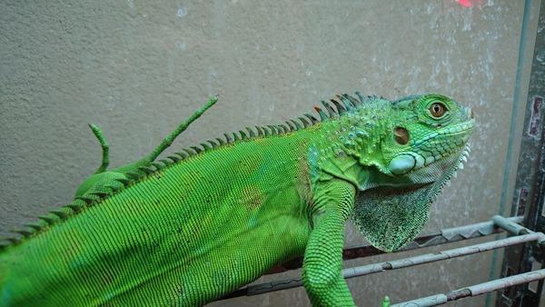 トバゴアイボリーゼブライグアナ、こんな顔つきをしています