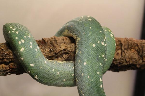 グリーンパイソンのブルーコンドロ、側腹部のグラデーションが美しいです