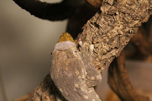 脱皮中のツギオミカドヤモリ