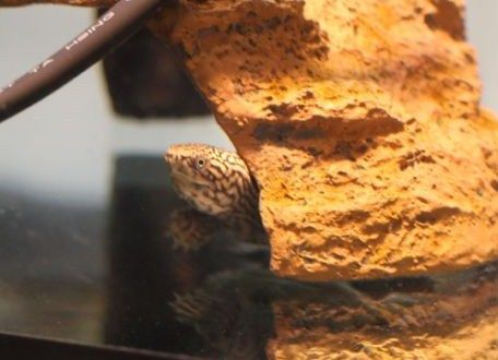 スジクビヒメニオイガメ、目のアップ